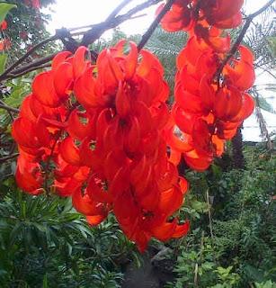 Jual FLAME OF IRIAN ( Mucuna Bennetti) | supplier tanaman rambat berbunga