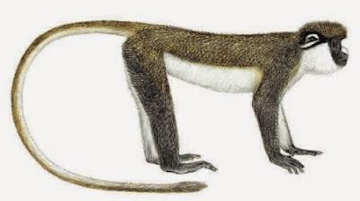 lesser spot nosed monkey