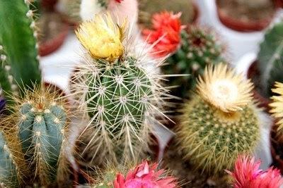 Arte y jardiner a enfermedades y par sitos de los cactus for Hongos en las plantas de jardin