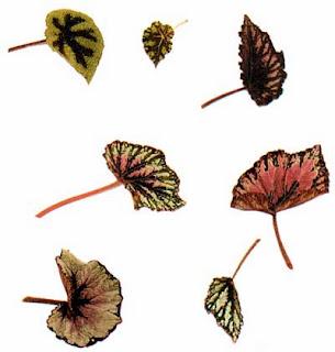 Листья Бегонии королевской (Begonia rex)