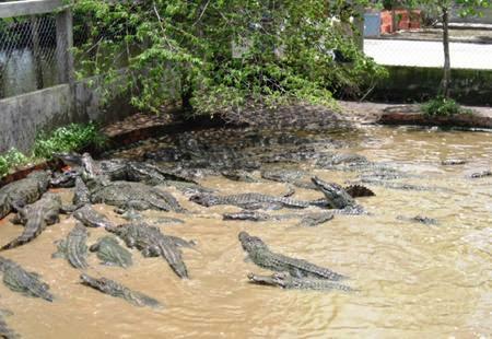 Cá sấu tại khu du lịch sinh thái trại bò