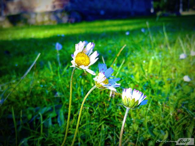 flores margaritas prado amanecer escarcha rocio