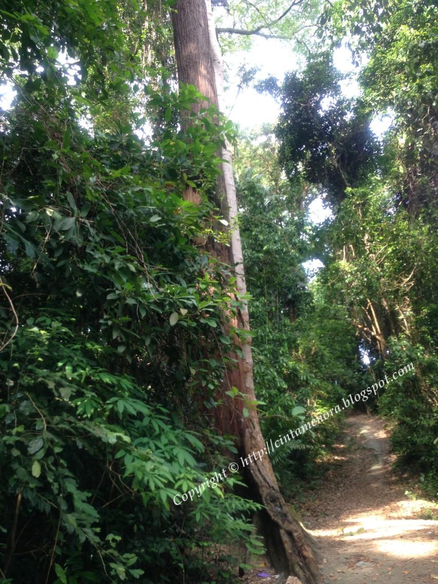 pokok kemenyan pulau besar