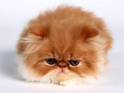 Wallpaper kucing imut