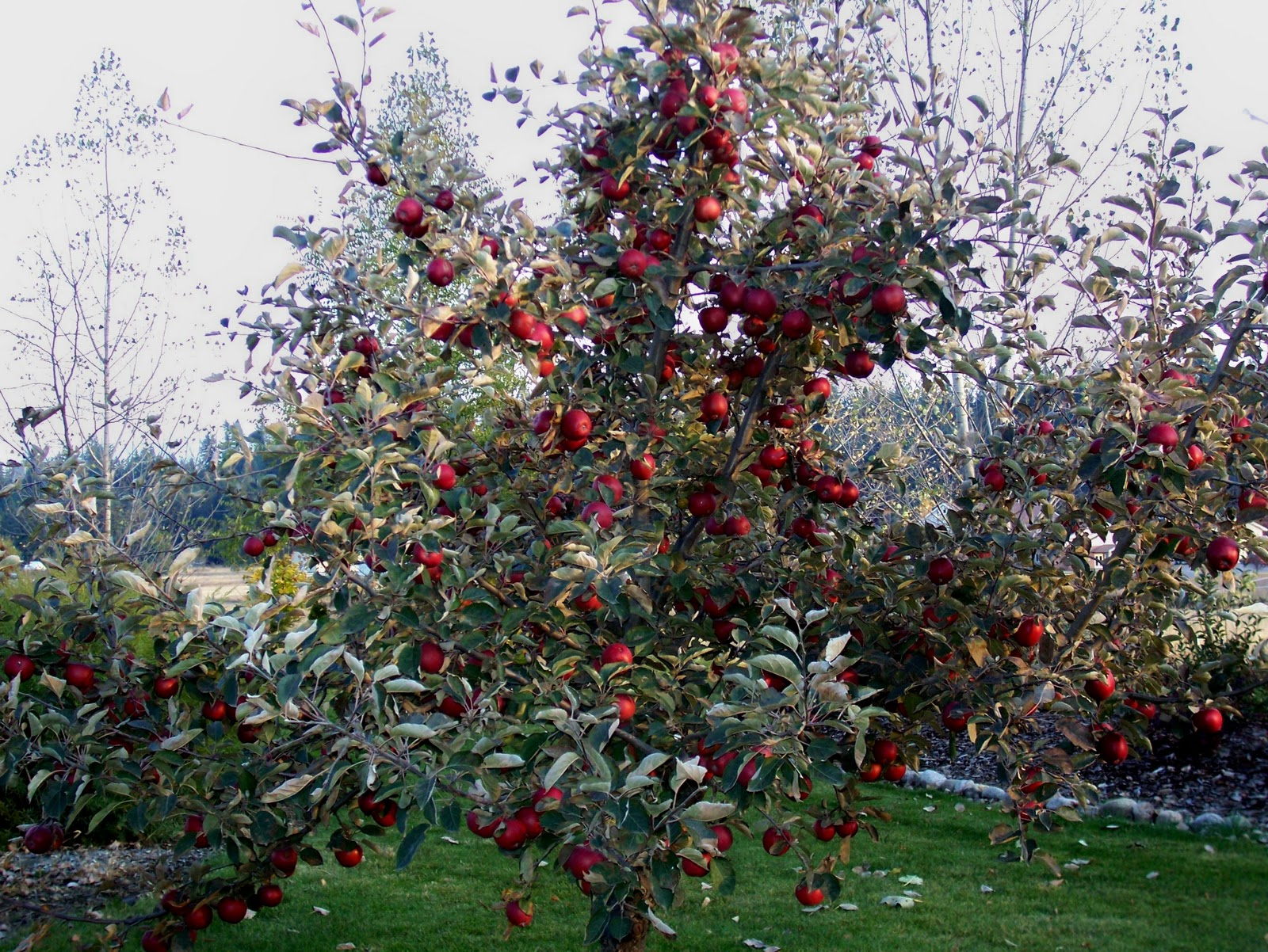 apple trees Pruning and training apple trees by lee calhoun pruning demonstrations available on our website:' wwwcenturyfarmorchardscom otherwise sensible people often become.