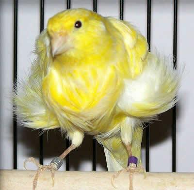 BURUNG KENARI MADIUN: Burung kenari