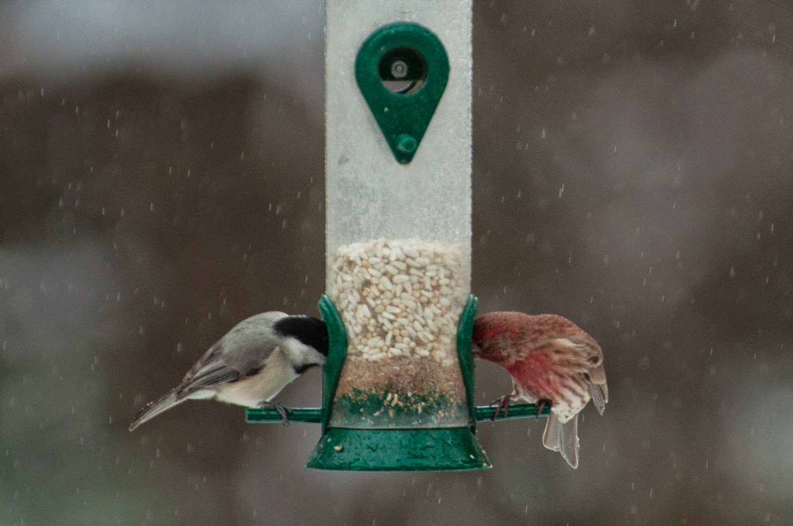 Carolina Chickadee, House Finch