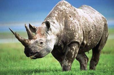 Diceros bicornis (Rinoceronte negro)