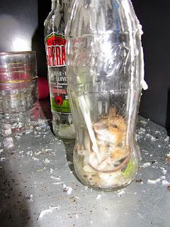 Ratón en la Cabana de Campcardós petrificado.
