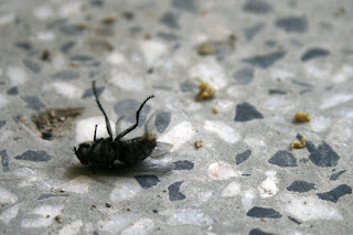 Dying fly giving birth to some sort of lavae