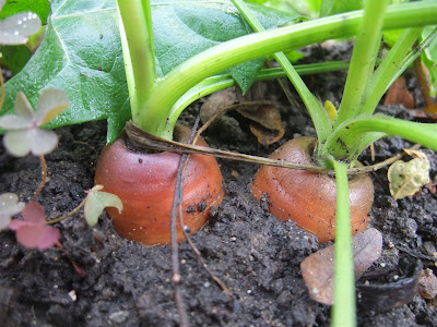 spring carrots, garden, backyard, how to