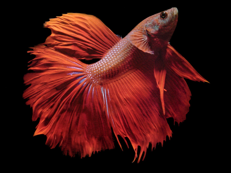 Siamese fighting fish betta splendens nice betta for Achat poisson rouge limoges