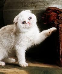 foto de gato exótico de pelo corto