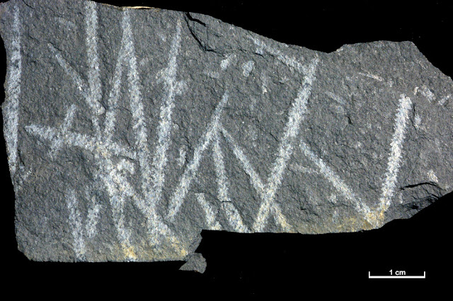 A fossil specimen of Diplograptus truncatus Lapworth var. pauperatus Elles and Wood. A fossil graptolite. (Graptolithina.) Dobb's Linn, Moffat Water, near Birkhill about 9.5 miles north-east of Moffat, Dumfriesshire, Scotland.  Diplograptus lived between the Middle Ordovician to the Lower Silurian (Llanvirn to Landovery). This specimen is from the Lower Hartfell Shales. British Geological Survey Biostratigraphy Collection number GSE 8231. It is biserial, it has two rows of thecae arranged back to back and grew in an upwards direction away from the sicula and scandent (stipes grow upwards from the sicula with the thecae growing outwards). Graptolites are related to the living Protochordata. They consisted of colonies of tiny individuals enclosed in a common horny sheath. They were widely distributed as they floated in the surface waters of the ancient oceans. On death the sheaths sank to the ocean floor and were buried and preserved.