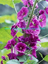 Blue Malva Flower- sumber Herb Lax Shaklee