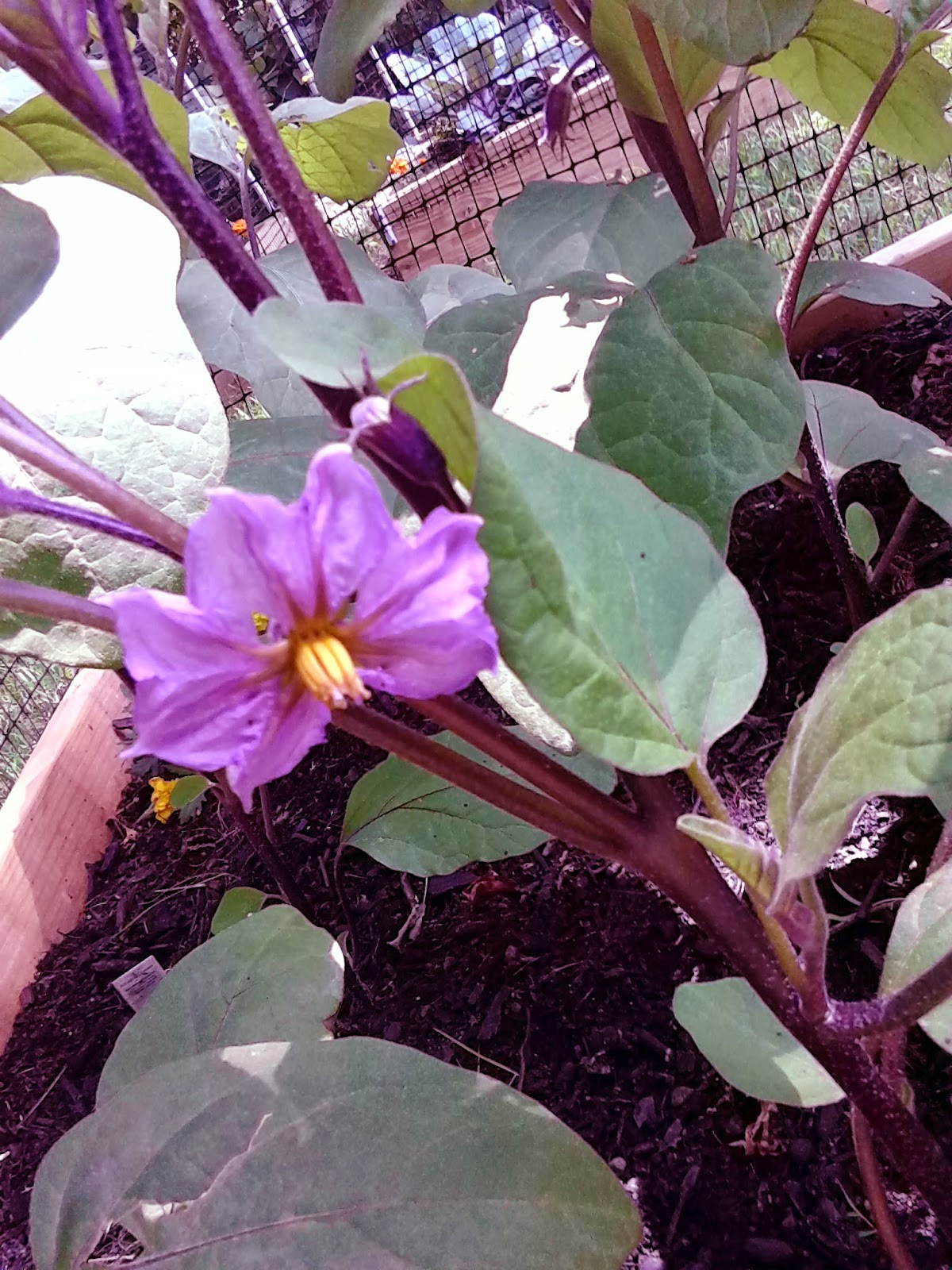 Putnamania The Most Beautiful Eggplant Flowers And Other Thoughts