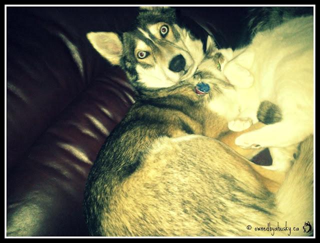 cat cuddles husky
