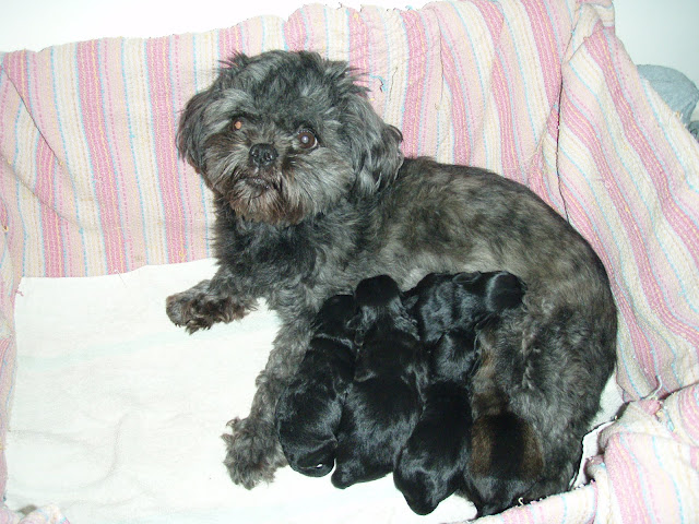 newborn puppies and mummy day one