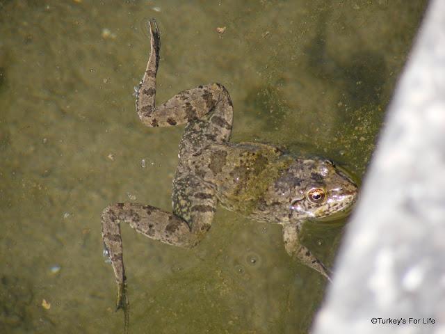 Frog, Letoon Ruins