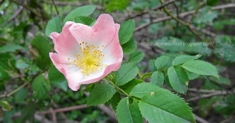 In nome dei fiori rosa canina fiori rosa e bacche rosse - Fiori a campanella rossi ...