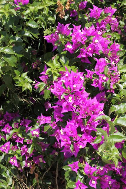 Violet Bougainvillea bunches