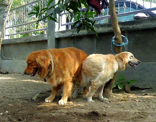 Cewe kawin sama anjing kesayangan