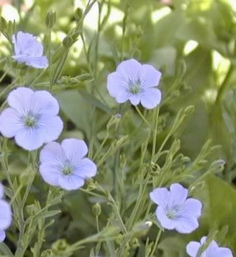 Flaxseed flowe pale blue flower on green folage