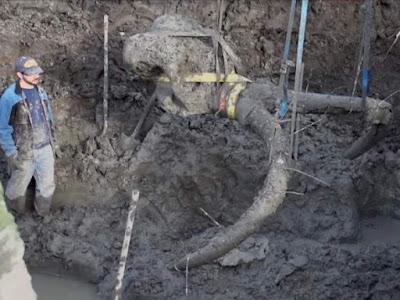 Bandar Ceme-Petani Telah Menemukan Fossil Mammoth Di Ladangnya