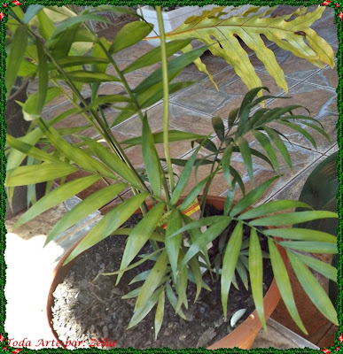 Mine palmeira
