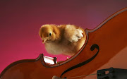 A chick on a violin wallpaper