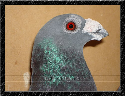 Dragon pigeon for sale
