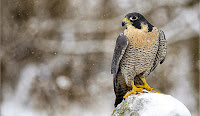 HD desktop wallpaper falcons collection (7)