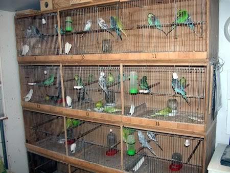 Panduan Dasar Beternak Burung Parkit