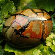 Batu Permata Sisik Naga - SP816