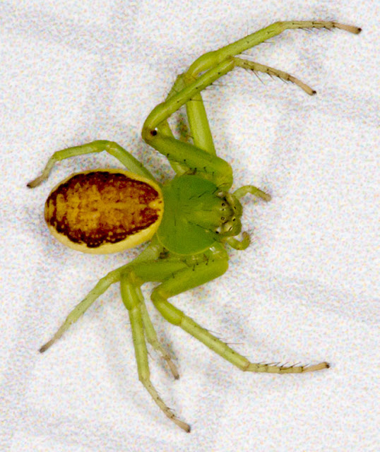 Spider, Diaea dorsata, female.  Spring Park, 17 November 2012.  Brought back to Hayes for photography.