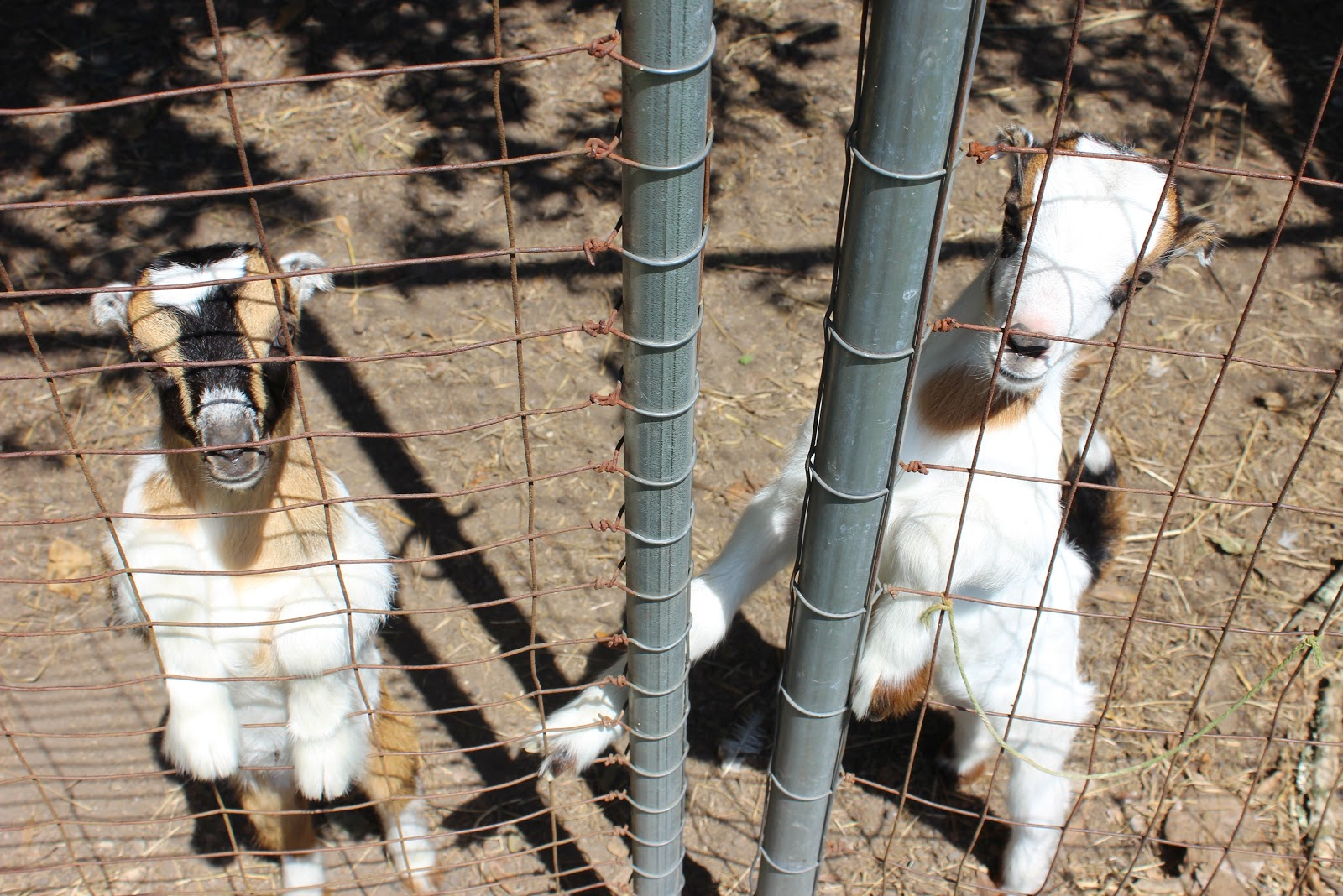 hightail farms banished baby goats