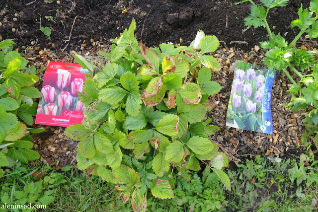 посадка тюльпанов, как сажать, луковицы