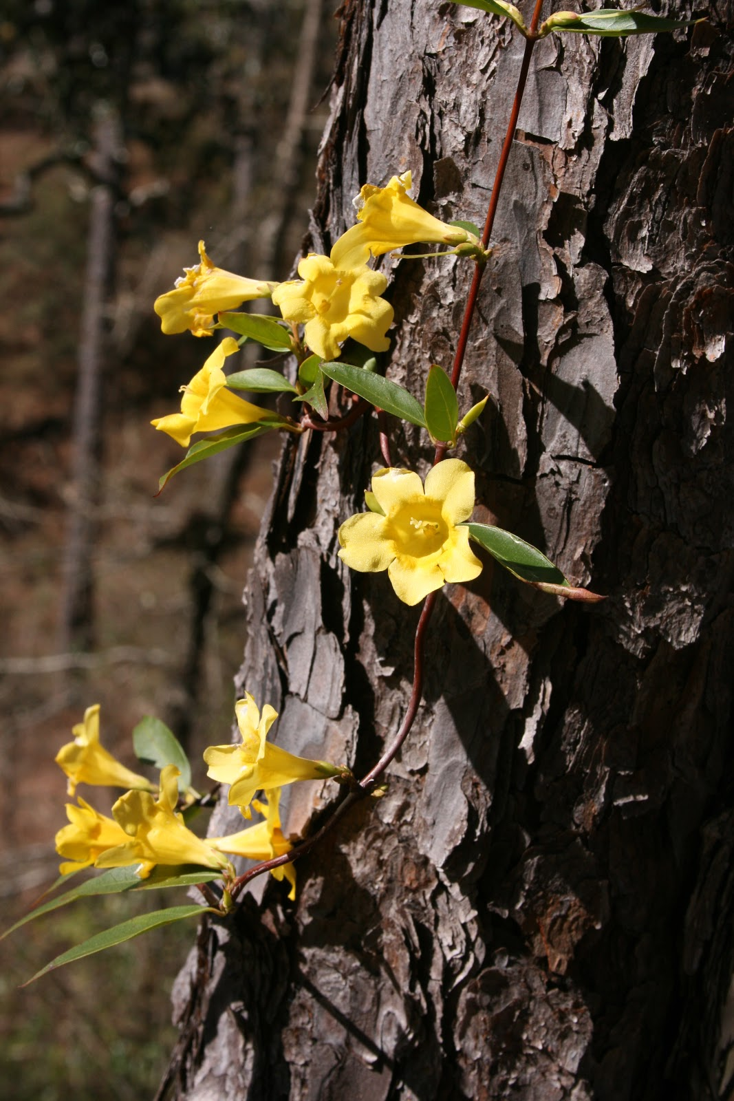 Native Florida Wildflowers Yellowcarolina Jessamine Gelsemium
