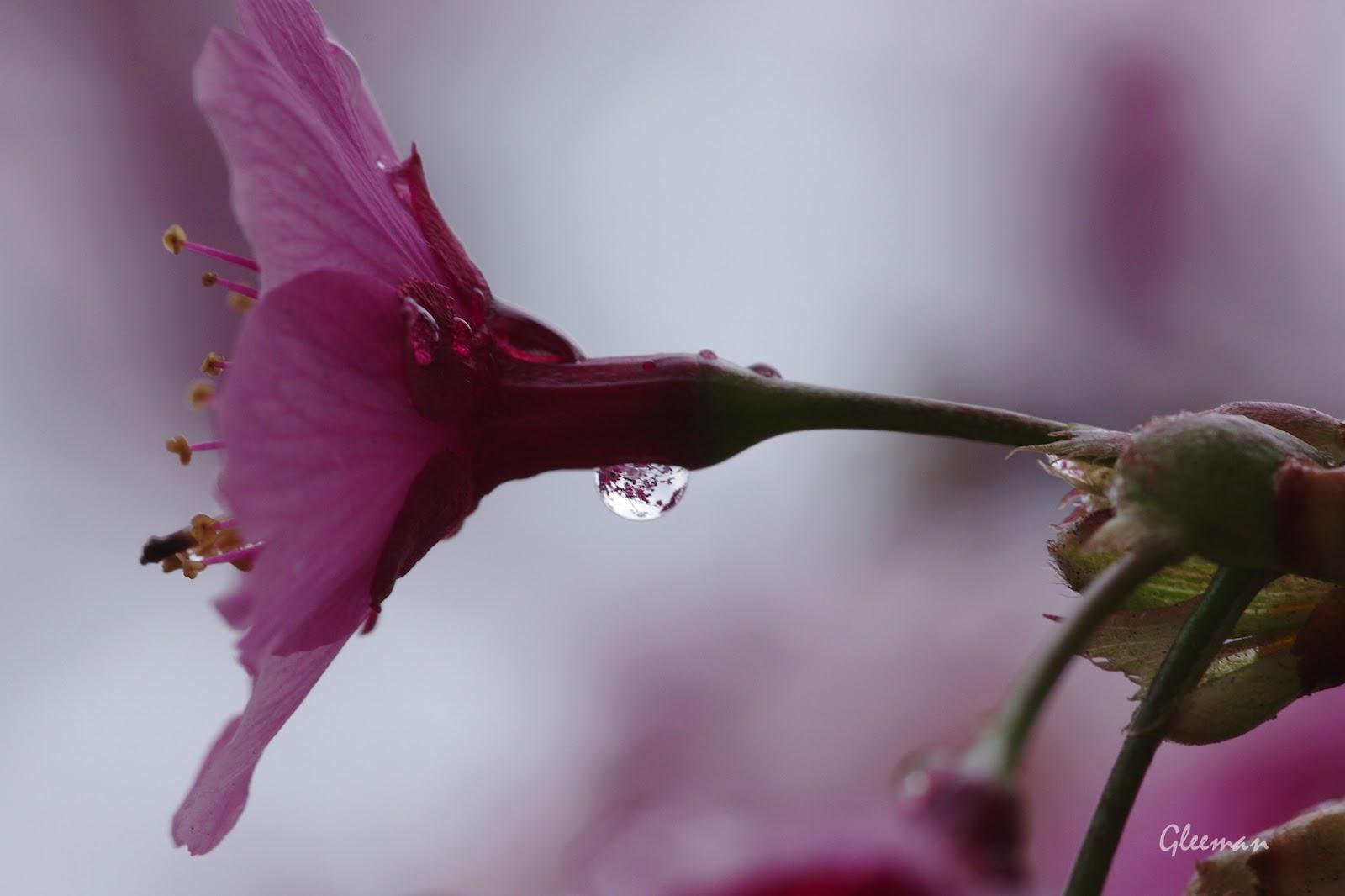 雞南山腳的美麗櫻花。雨滴。