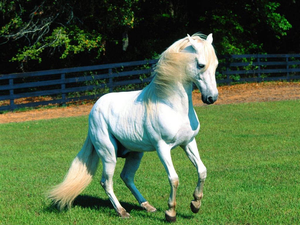 Must see   Wallpaper Horse Scenery - Elegant+White+Horse+Scenery+Wallpaper  Photograph_783975.jpg