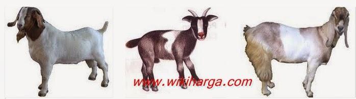 Prakiraan harga kambing  2015 untuk kurban