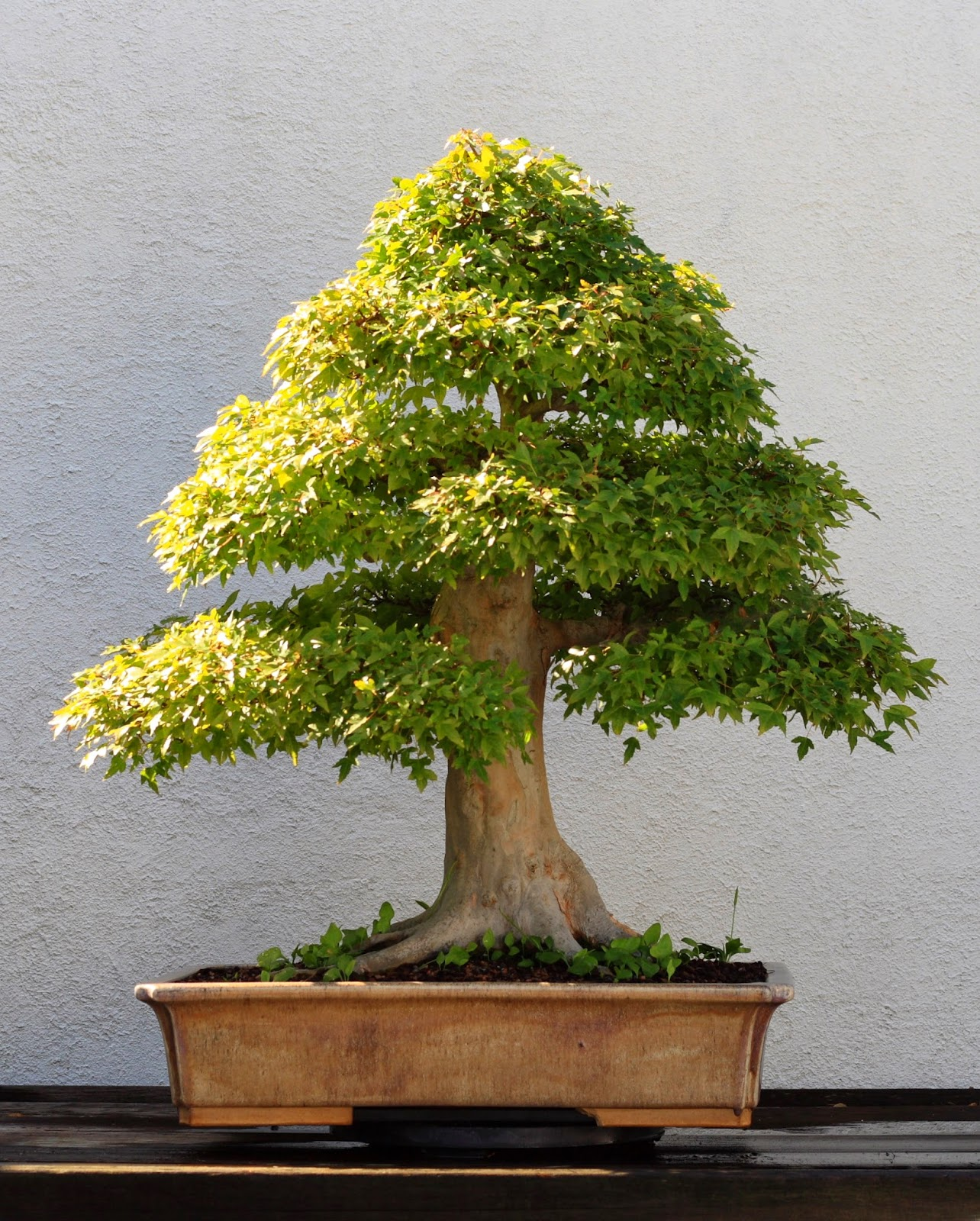 Imagenes fantasia y color como cuidar un arbol bonsai for Tierra para bonsais