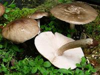 Ciuperca cerbilor