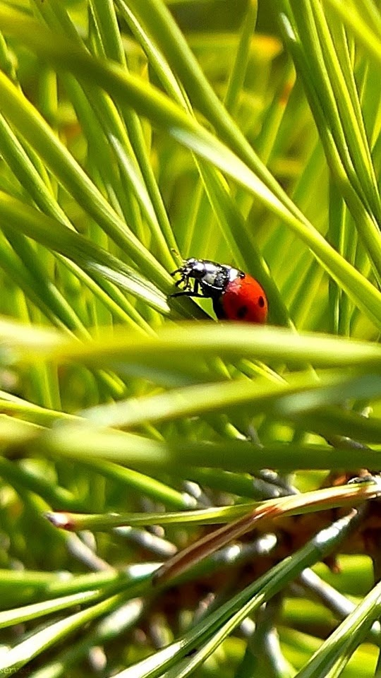 Macro Ladybug Green Grass  Galaxy Note HD Wallpaper