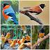 Harga Burung Ocehan Maret 2015