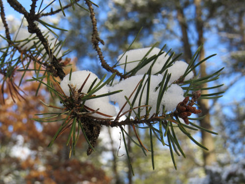 snow on jackpine