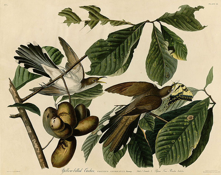 fruit flies wiki paw paw fruit