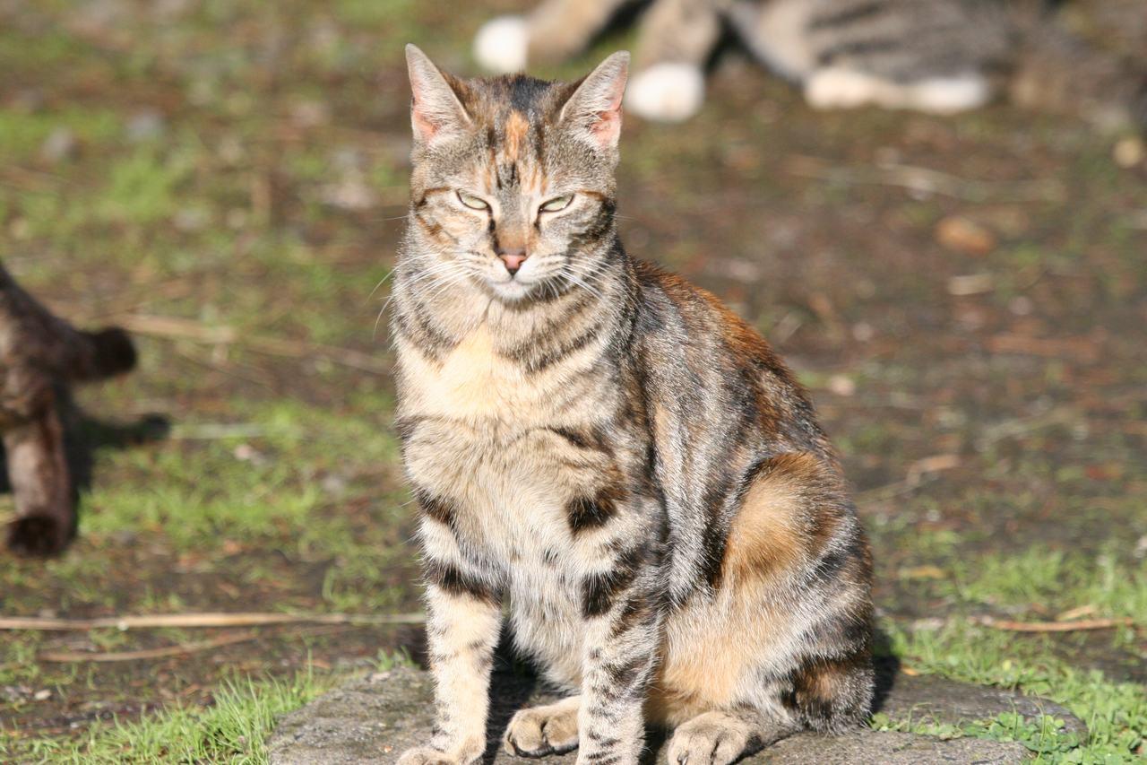 Torbie Cat A tortie - torbie feral cat Torbie Cat
