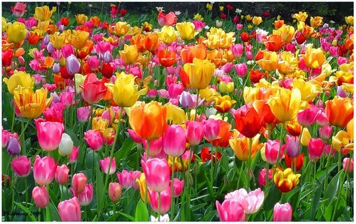 Keindahan Permandangan Bunga Tulip Dari Udara Seperti Hamparan Permaidani