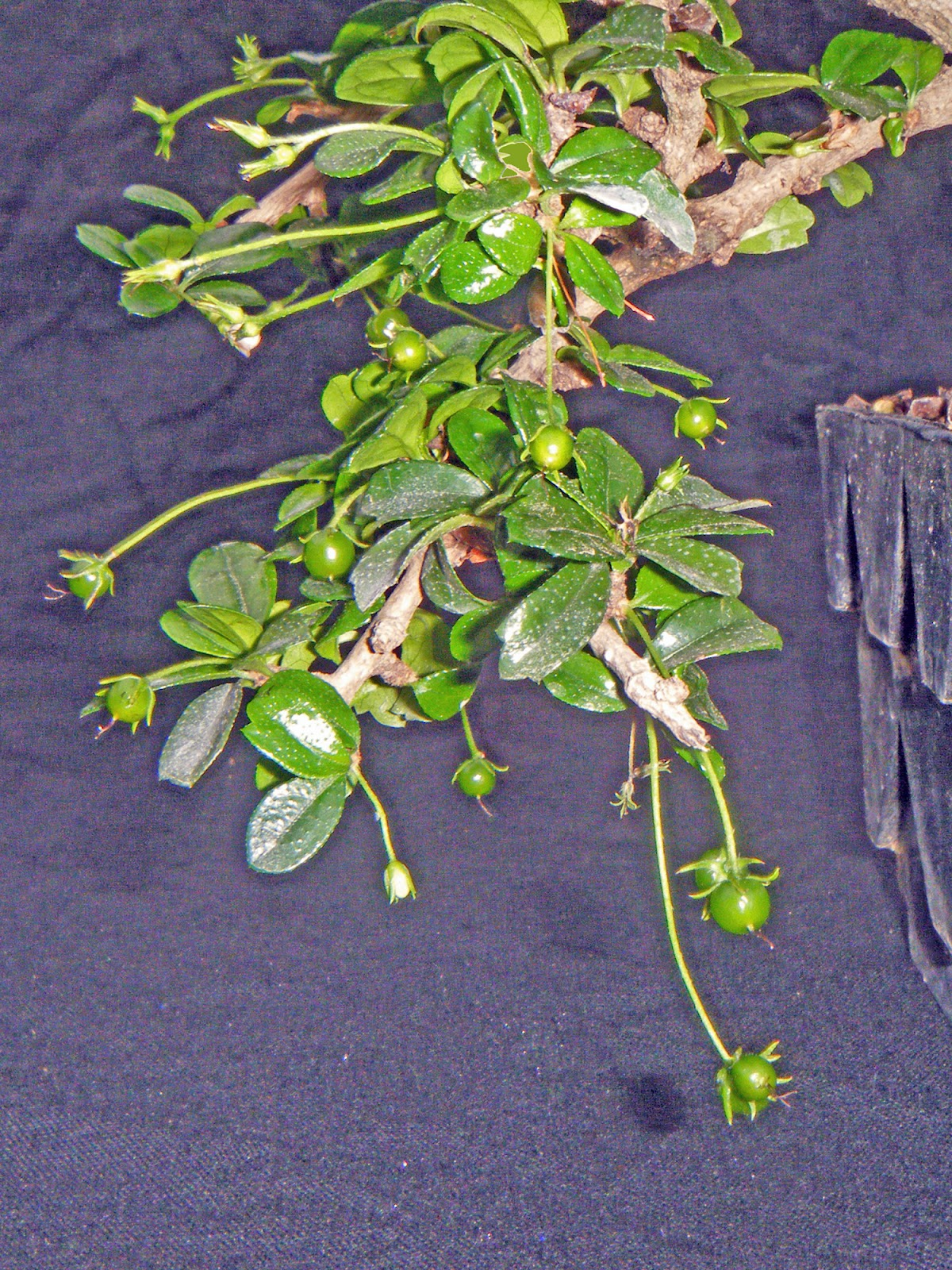 Bonsai In Hoosierland Fukien Tea A More Subtle Show